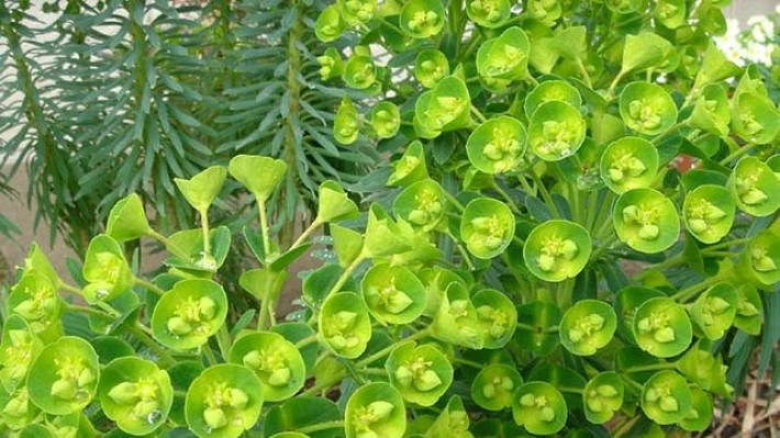 Robust Mounds Of Euphorbia Add Structure And Backbone To Mixed Plantings Perennials Gres