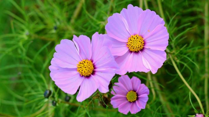 Cosmos Flowers Can Be Simple With Single Petals But There Are Frilly Double And Fused