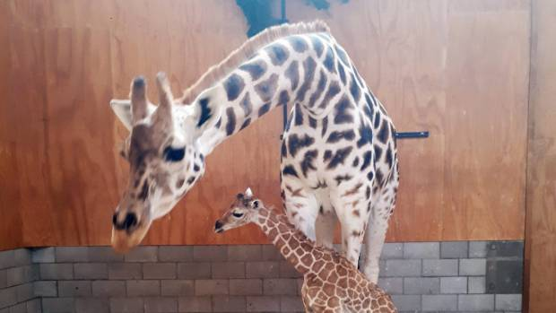 Baby giraffe born at Perth Zoo
