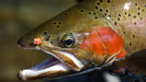It is illegal to actually sell trout, but the fishery is estimated to be worth more than $250m to the New Zealand economy.