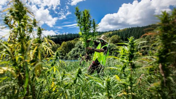 Hikurangi Enterprises grows 5000 cannabis plants in Ruatoria, near Gisborne, under a Ministry of Health-issued licence.