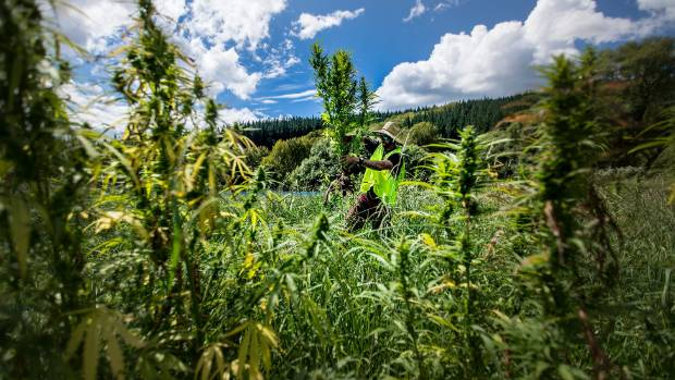 Hikurangi will now start building new facilities to meet local and global demand for medicinal cannabis.
