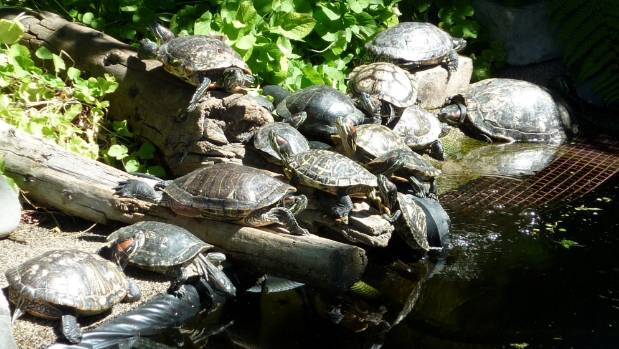 Moot has more than 75 rescued turtles at her Christchurch home. She worries what will happen to them after she's gone.
