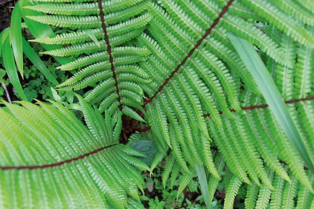 Dryopteris Wallichiana The Alpine Wood Fern Is A Cracking Good While Some Ferns