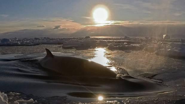 Rare underwater footage of minke whale captured in Antarctica
