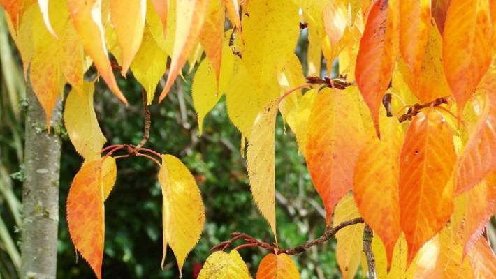 Best Trees For Autumn Colour Stuffconz