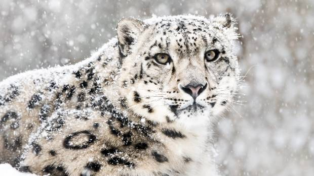 Proposal to introduce snow leopard to South Island 'crazy'