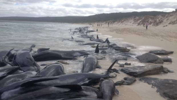 Australian volunteers save five of over 150 stranded whales