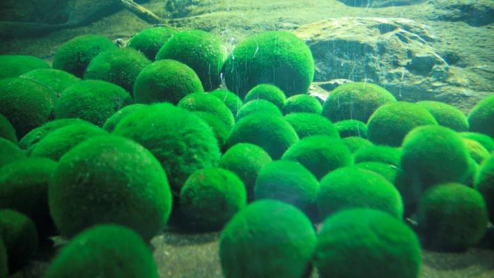 Illegal Moss Balls Brought Into NZ By Artist 'have Potential To Ruin Stunning Decorative Moss Balls Uk