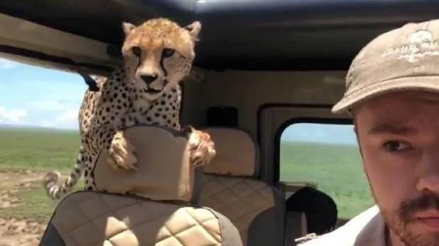 Cheetah Hitches a Ride During African Safari