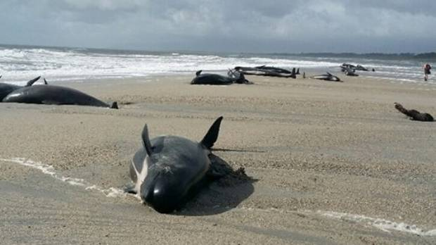 Thirty-eight pilot whales stranded just south of Haast on Wednesday night.