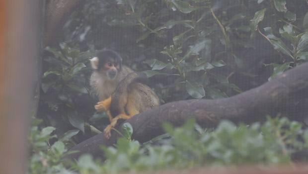 Burglar comes off second best against squirrel monkeys at