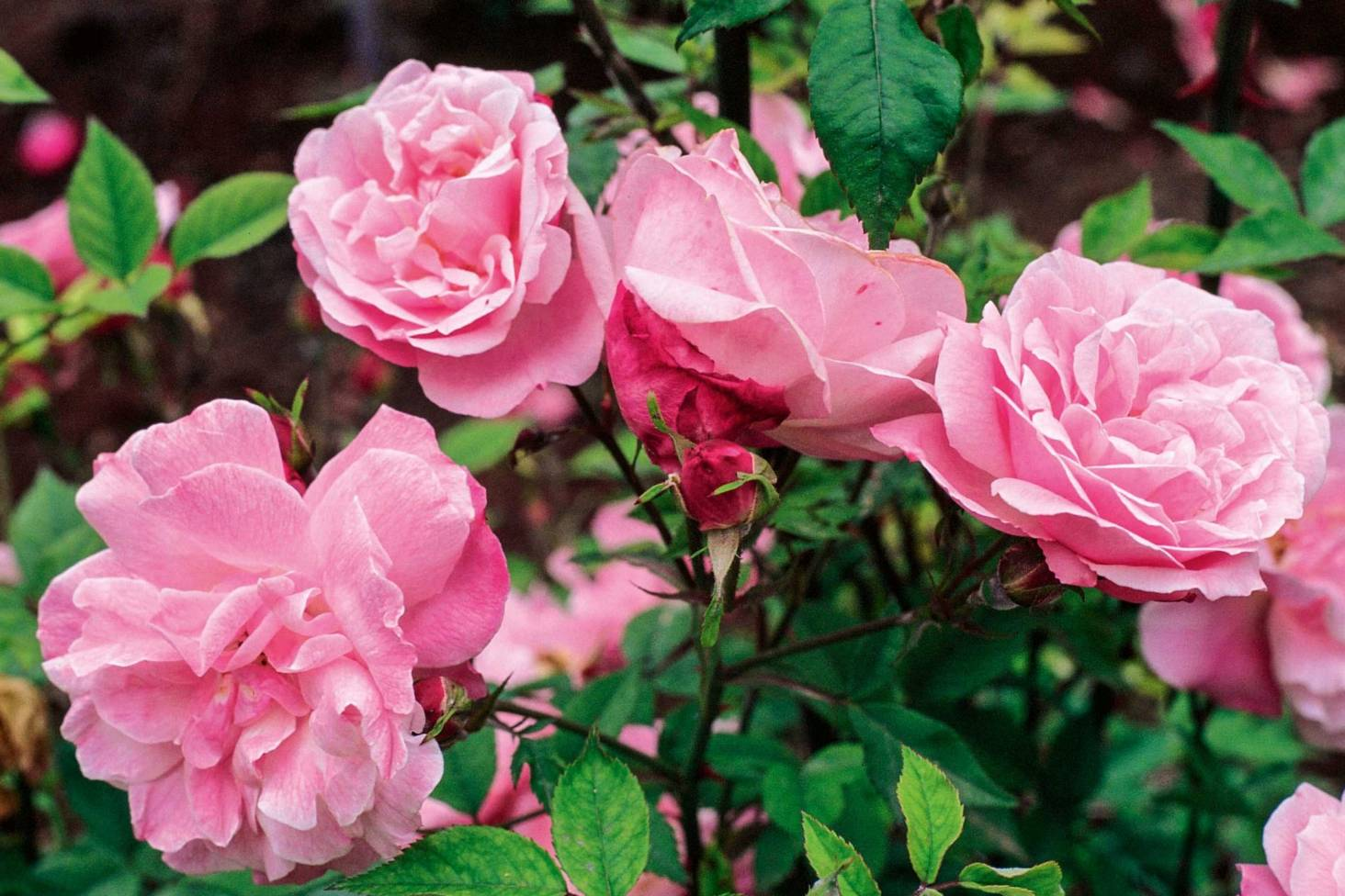 Stock-rose: planting and care are not difficult