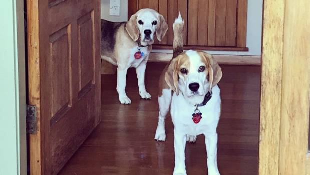 Missing beagle Benny, right, with his friend Spike, who has helped with the search.