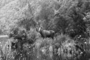One of the last verified photographs of a Fiordland moose, taken in 1952.