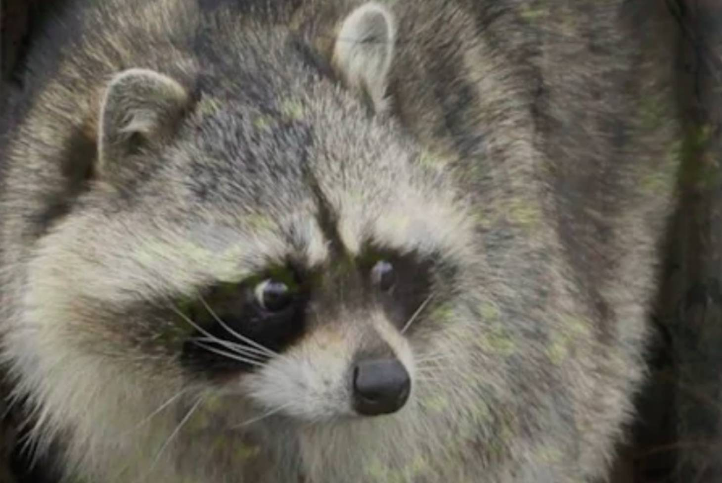 221f6f2d23 This is a story about a stoned raccoon at a fire station | Stuff.co.nz