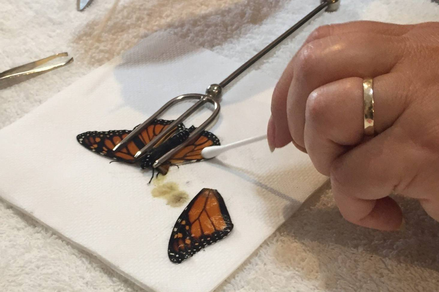 Franken Fly Wing Transplant Gives Injured Erfly A Flying Chance Stuff Co Nz