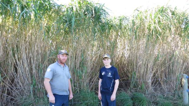 Mark Williams and son Reeve are dwarfed by giant sterile miscanthus grass used as stock shelter.