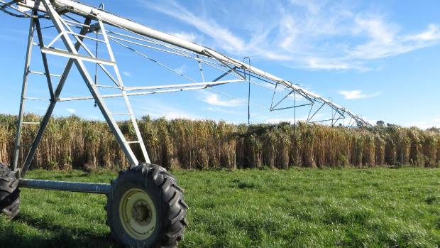 The centre pivot irrigator can roll right over giant miscanthus grass used as stock shelter.