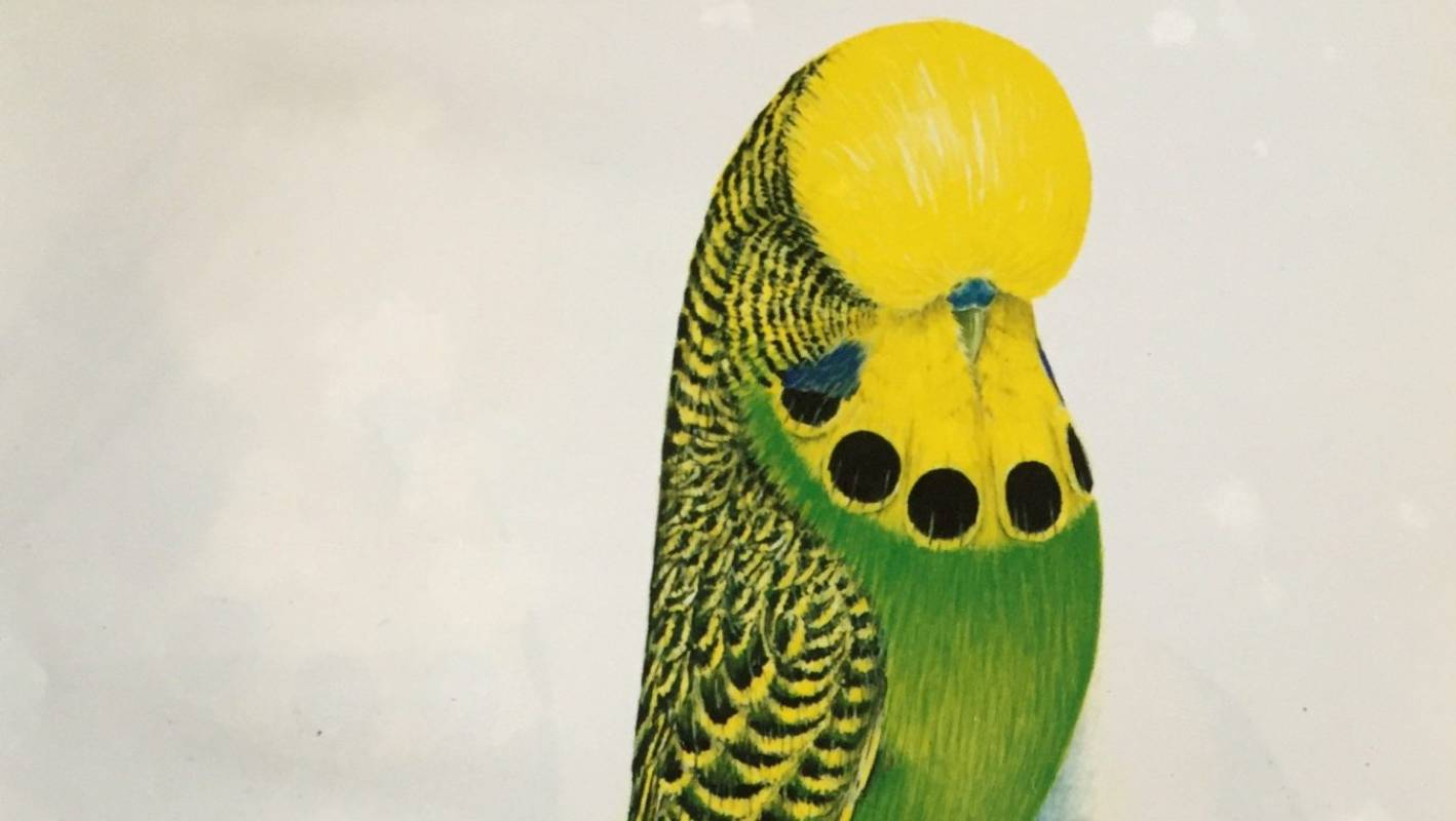 New Zealand's 20 years off the perfect budgie, budgie
