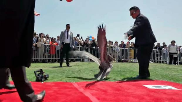 Pesky pelicans invade SoCal graduation, 1 lands on red carpet