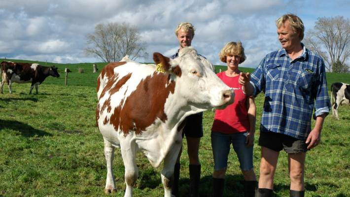 Friendly montbeliardes are better than the average cow | Stuff co nz