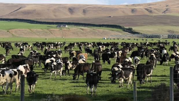 The intensification of dairy farming in New Zealand has seen cows appearing in areas considered unsuitable for dairying ...