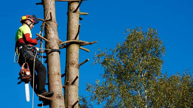 Tree felling and pruning is dangerous work and a good arborist will be highly skilled.