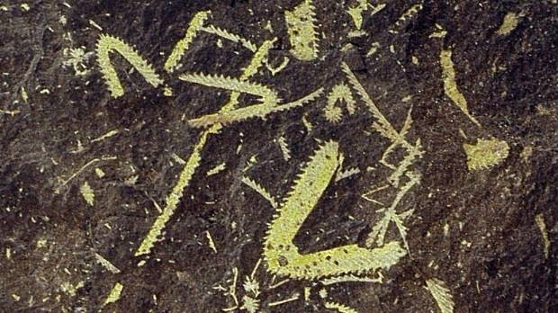 Looking back over a period of between 480 and 430 million years, the team studied fossils of graptoloids surrounding ...