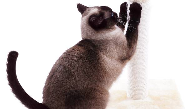 Ask Dr Bruce Chard How Can I Stop My Cat Scratching The