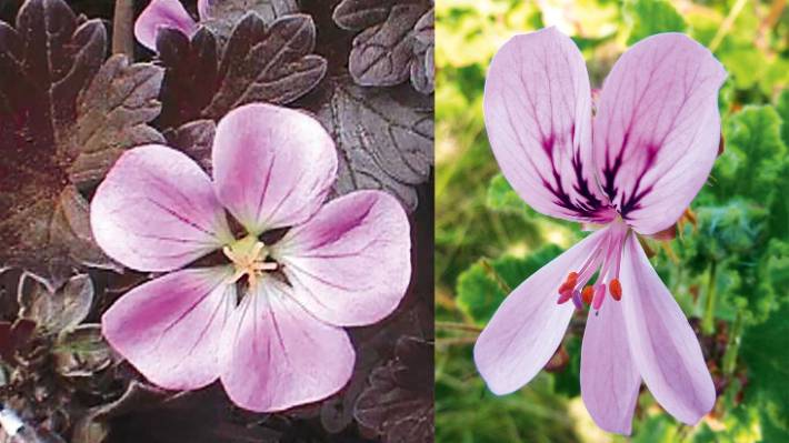 Pelargoniums Vs Geraniums Can You Tell The Difference Stuff Co Nz