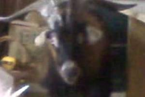 A feral goat, moments before it is tasered 13 times, in an Oamaru garage.