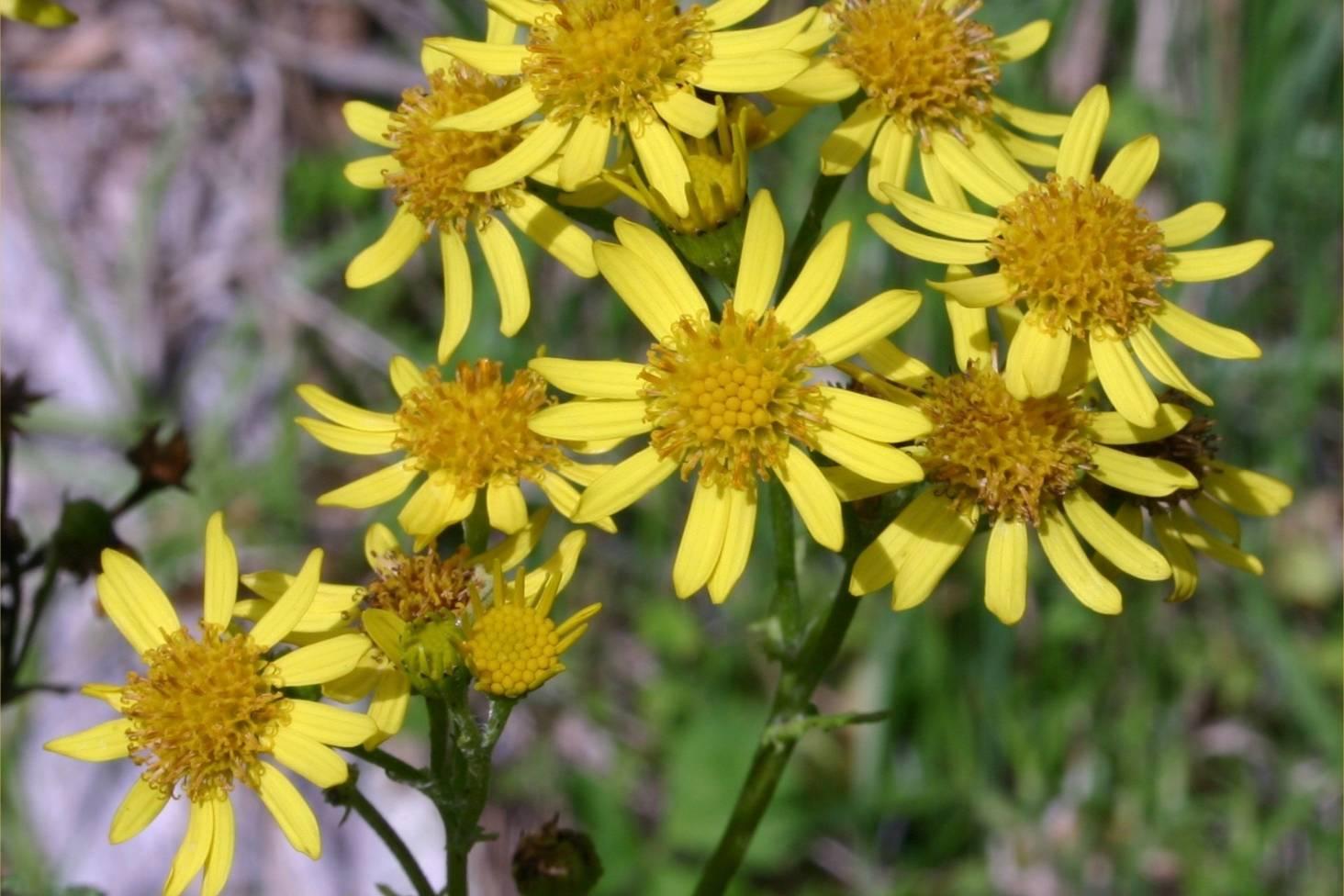 Humble Flower Ragwort So Toxic It Can Kill A Horse Stuff