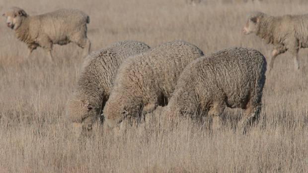 A dry sheep farm in Waipara during a drought in 2015.