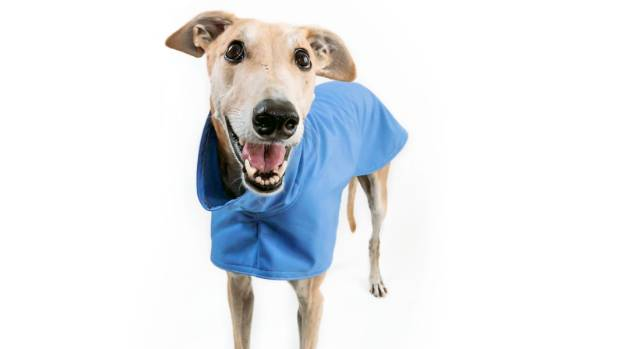 Jorge in a versatile blue jacket from the GAP (that's Greyhounds as Pets) shop, Greyt Stuff.
