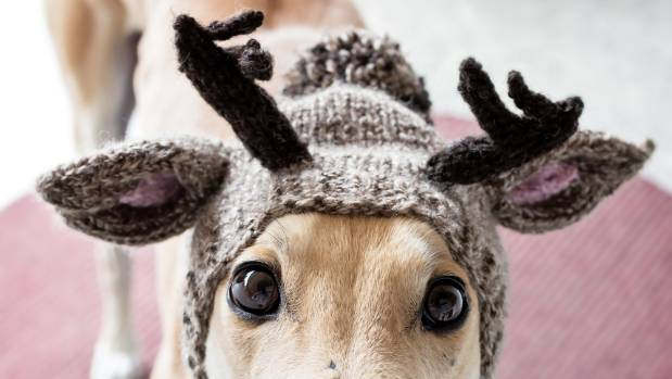 A knitted reindeer hat from Alibar Dog Hats keeps greyhound Jorge's ears warm. The European dog charity supports rescue ...