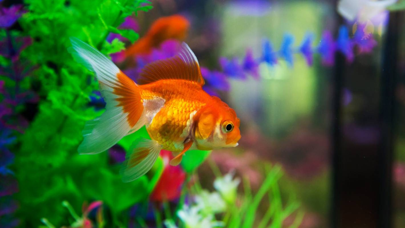 Common goldfish myths debunked | Stuff co nz