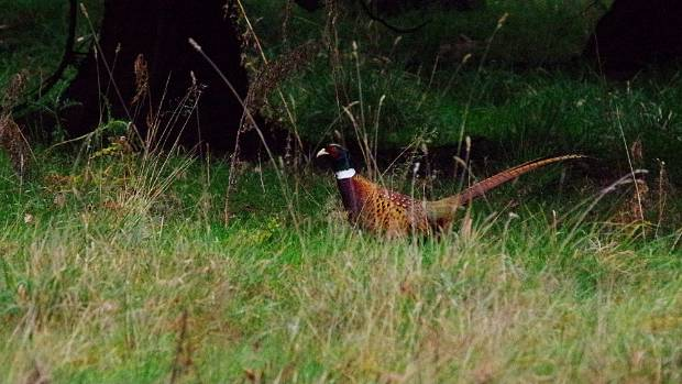 About 4500 pheasants are released each summer for a commercial game shooting operation at Craigmore Station.