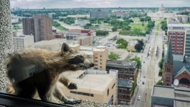 A raccoon stretches itself on the 23rd floor of a tower in Minnesota US