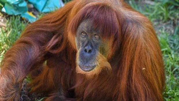Perth Farewells World's Oldest Sumatran Orangutan