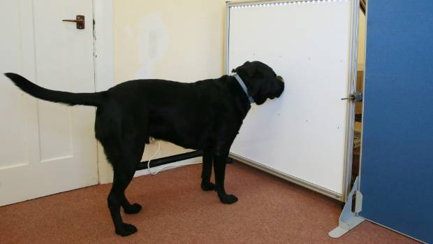 Onyx the labrador retriever has been training with the automated canine scent-detection apparatus since December.