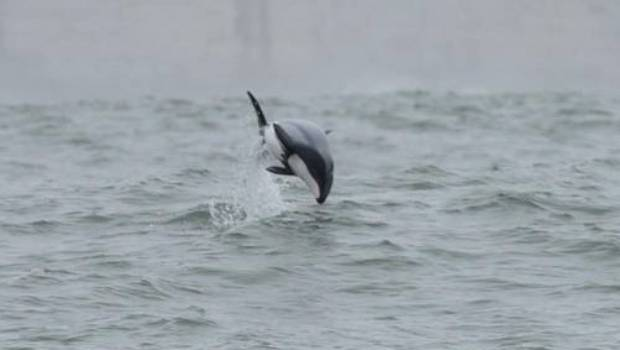 The Māui dolphin is one of the rarest in the world and only live on the West Coast of the North Island.