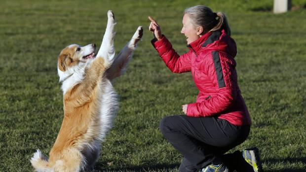 Marley, a 6-year-old red border collie, performs a trick for his owner South Canterbury Dog Training Club vice president ...