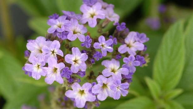 8 plants that smell like candy   Stuff.co.nz