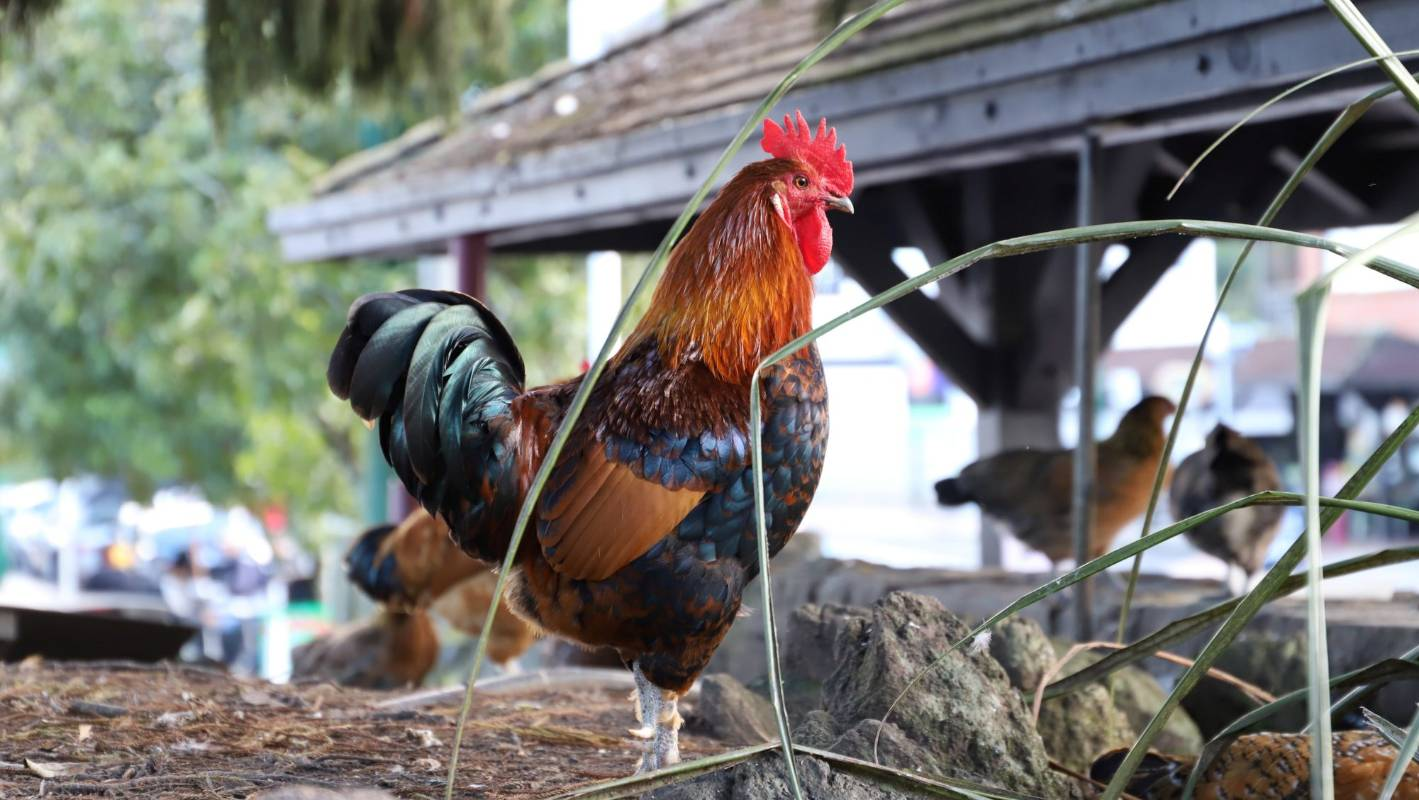 Titirangi chickens will cost about $112 each to remove