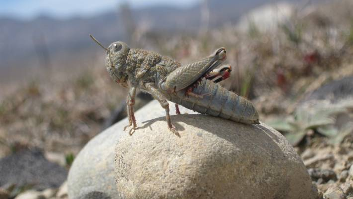 New High Country Reserve For Poorly Hopping Grasshopper That Avoids