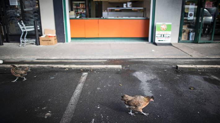 Residents say the rat infestation is caused by people who feed the famed chickens of Titirangi Village.