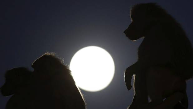 Baboons silhouetted by the moon at the city zoo in Brasilia Brazil