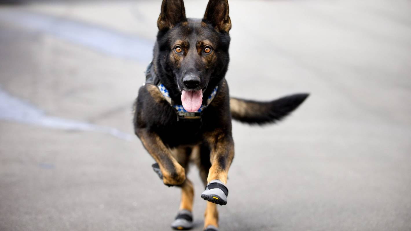 2994b7aa3631 Police dogs boot up to protect paws from glass