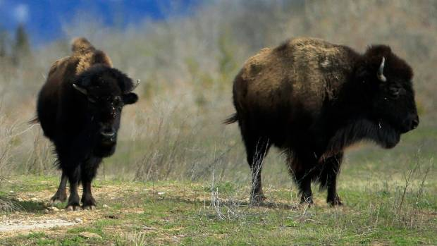 Yellowstone Tourist Caught on Video Making the Ill-Advised Decision to Taunt Bison